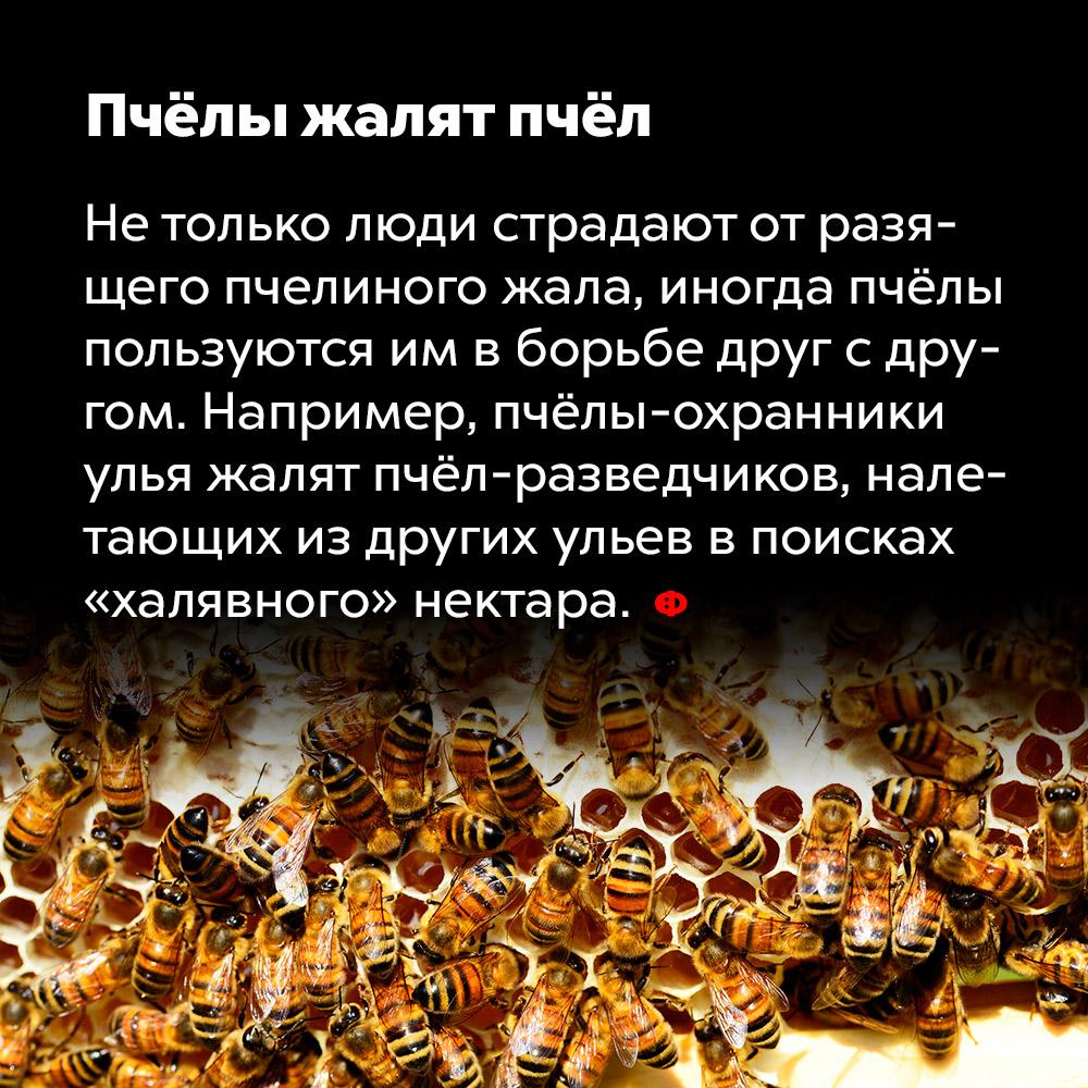 Пчёлы жалят пчёл. Не только люди страдают от разящего пчелиного жала, иногда пчёлы пользуются им в борьбе друг с другом. Например, пчёлы-охранники улья жалят пчёл-разведчиков, налетающих из других ульев в поисках «халявного» нектара.