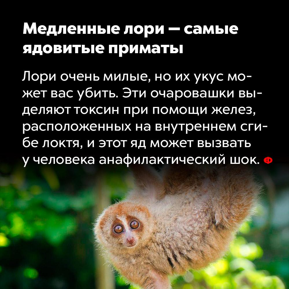 Медленные лори — самые ядовитые приматы.