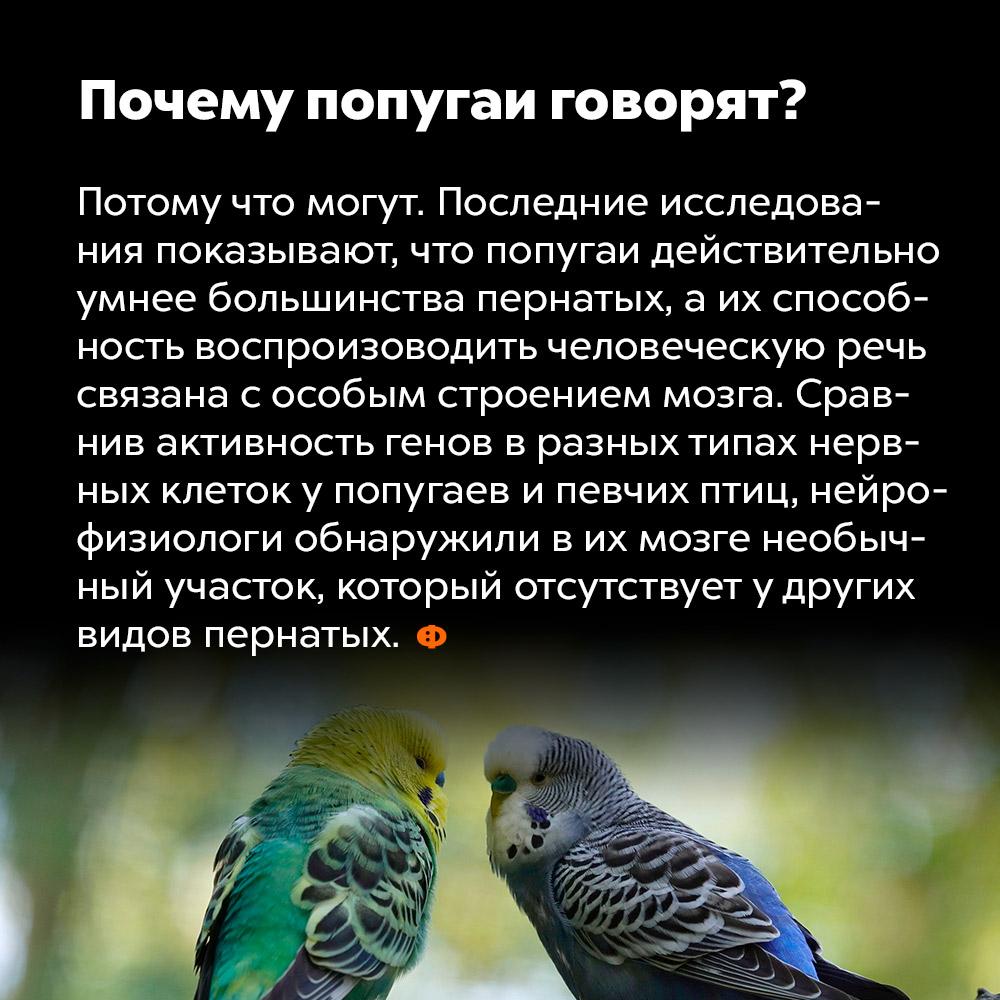 Почему попугаи говорят?. Потому что могут. Последние исследования показывают, что попугаи действительно умнее большинства пернатых, а их способность воспроизводить человеческую речь связана с особым строение мозга. Сравнив активность генов в разных типах нервных клеток у попугаев и певчих птиц, нейрофизиологи обнаружили в их мозге необычный участок, который отсутствует у других видов пернатых.