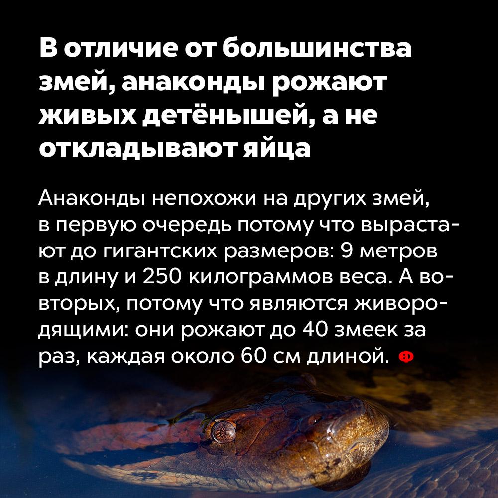 Вотличие отбольшинства змей, анаконды рожают живых детёнышей, анеоткладывают яйца. Анаконды не похожи на других змей, в первую очередь потому что вырастают до гигантских размеров: 9 метров в длину и 250 кг веса. А во-вторых, потому что являются живородящими: они рожают до сорока змеек за раз, каждая около 60 см длиной.