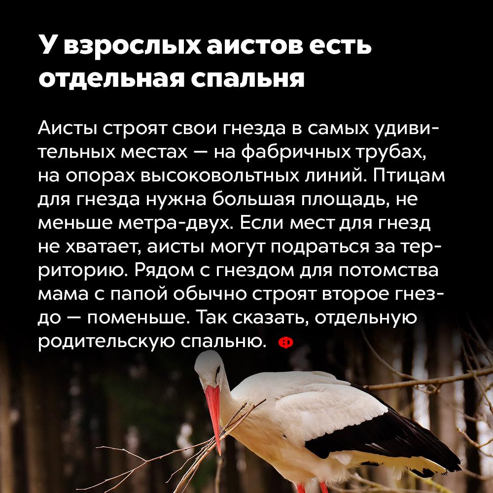 Увзрослых аистов есть отдельная спальня. Аисты строят свои гнёзда в самых удивительных местах — на фабричных трубах, на опорах высоковольтных линий. Птицам для гнезда нужна большая площадь, не меньше метра-двух. Если мест для гнёзд не хватает, аисты могут подраться за территорию. Рядом с гнездом для потомства мама с папой строят второе гнездо, поменьше. Так сказать, отдельную родительскую спальню.