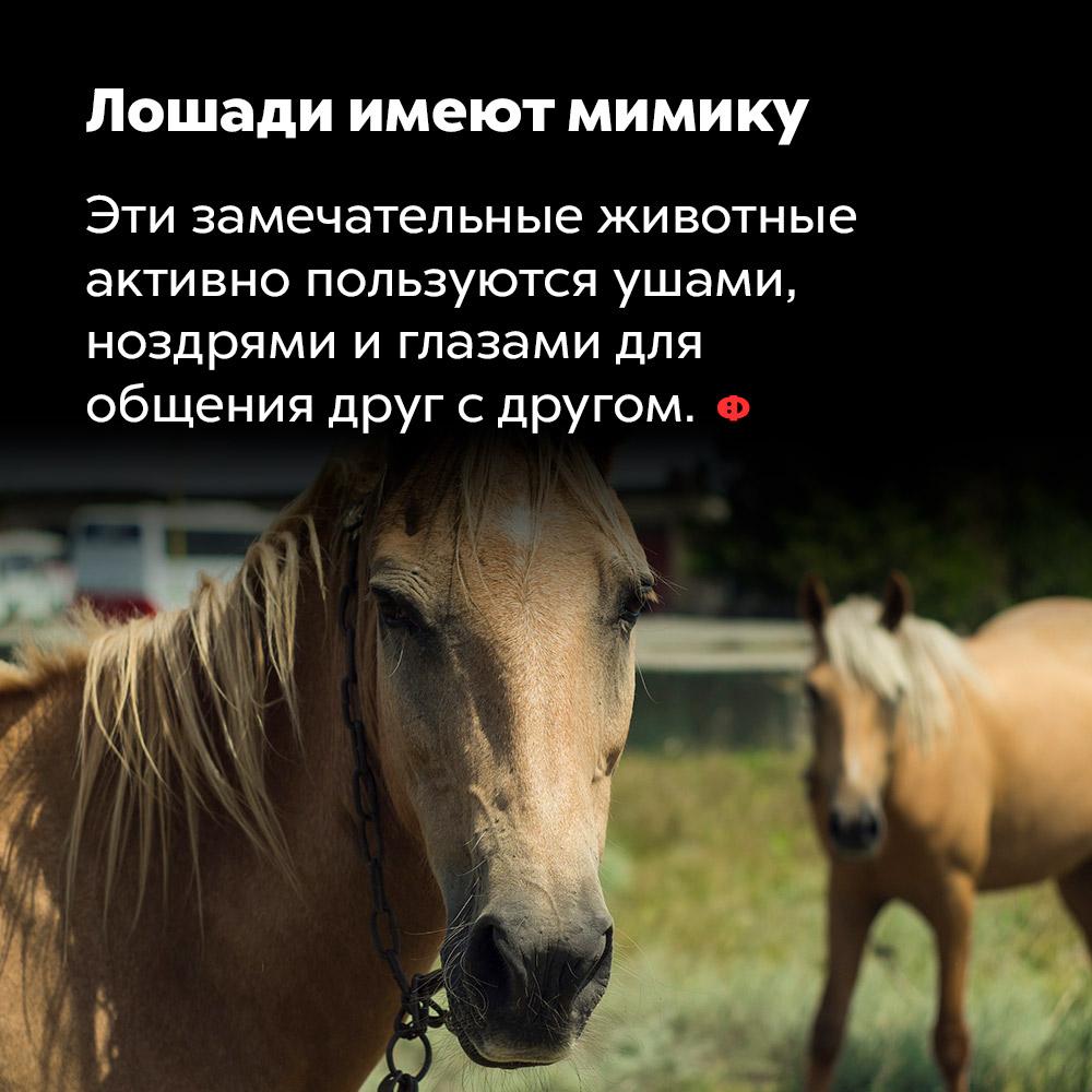 Лошади имеют мимику. Эти замечательные животные активно пользуются ушами, ноздрями и глазами для общения друг с другом.