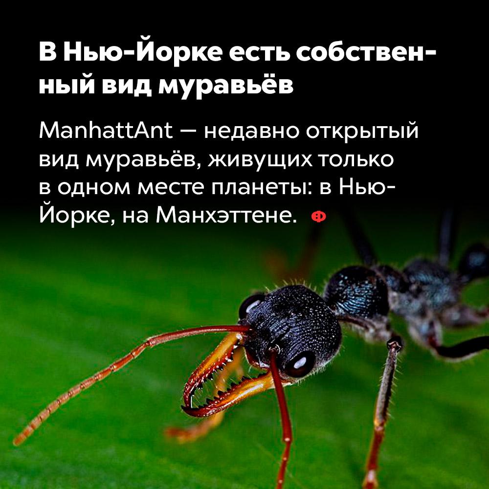 ВНью-Йорке есть собственный вид муравьёв. ManhattAnt — недавно открытый вид муравьёв, живущих только в одном месте планеты: в Нью-Йорке, на Манхэттене.