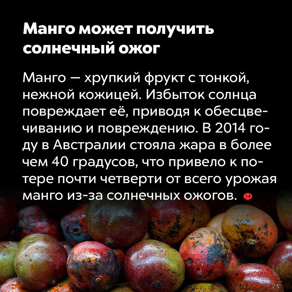 Манго может получить солнечный ожог. Манго — хрупкий фрукт с тонкой, нежной кожицей. Избыток солнца повреждает её, приводя к обесцвечиванию и потемнению. В 2014 году в Австралии стояла жара в более чем 40 градусов, что привело к потере почти четверти от всего урожая манго из-за солнечных ожогов.
