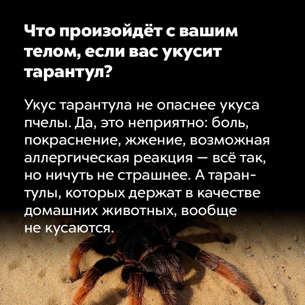 Что произойдёт свашим телом, если вас укусит тарантул?. Укус тарантула не опаснее укуса пчелы. Да, это неприятно: боль, покраснение, жжение, возможная аллергическая реакция — всё так, но ничуть не страшнее. А тарантулы, которых содержат в качестве домашних животных, вообще не кусаются.