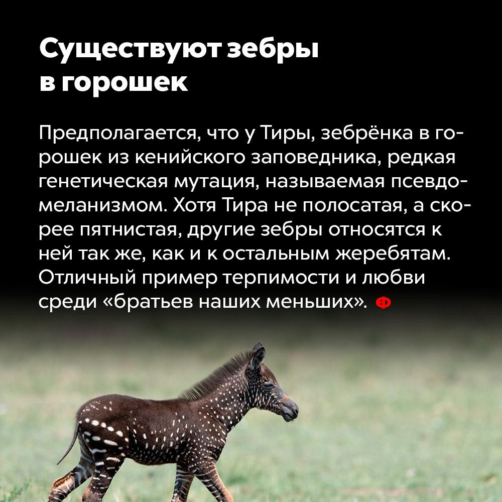 Существуют зебры вгорошек. Предполагается, что у Тиры, зебрёнка в горошек из кенийского заповедника, редкая генетическая мутация, называемая псевдомеланизмом. Хотя Тира не полосатая, а, скорее, пятнистая, другие зебры относятся к ней так же, как и к остальным жеребятам. Отличный пример терпимости и любви среди «братьев наших меньших».