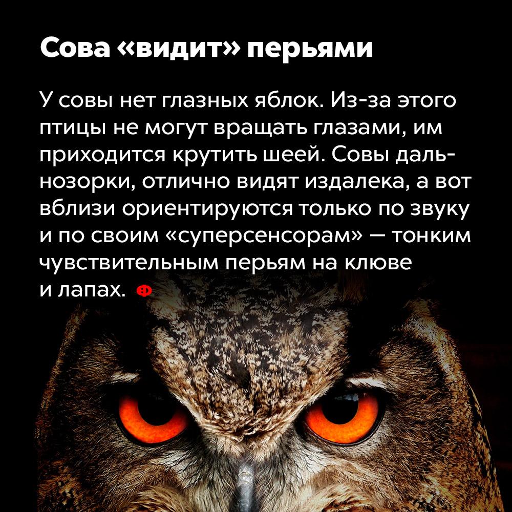 Сова «видит» перьями. У совы нет глазных яблок. Из-за этого птицы не могут вращать глазами, им приходится крутить шеей. Совы дальнозорки, отлично видят издалека, а вот вблизи ориентируются только по звуку и по своим «суперсенсорам» — тонким чувствительным перьям на клюве и лапах.