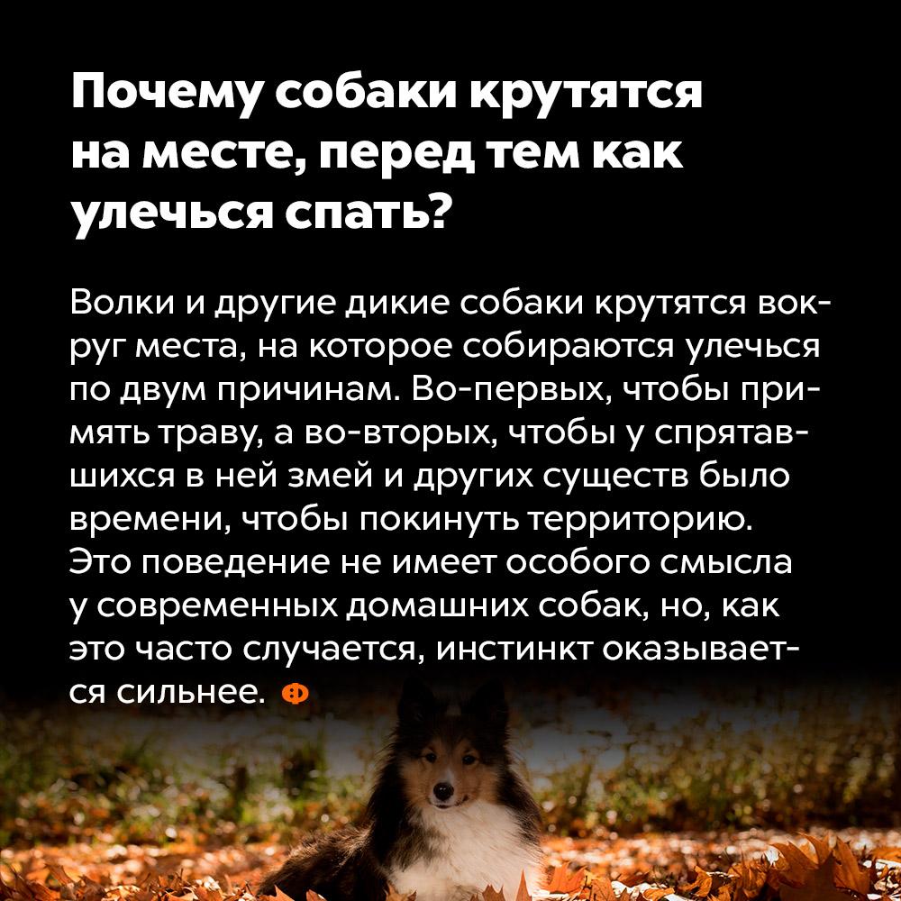 Почему собаки крутятся наместе, перед тем как улечься спать?. Волки и другие дикие собаки крутятся вокруг места, на которое собираются улечься по двум причинам. Во-первых, чтобы примять траву, а во-вторых, чтобы у спрятавшихся в ней змей и других существ было времени, чтобы покинуть территорию. то поведение не имеет особого смысла у современных домашних собак, но, как это часто случается, инстинкт оказывается сильнее.