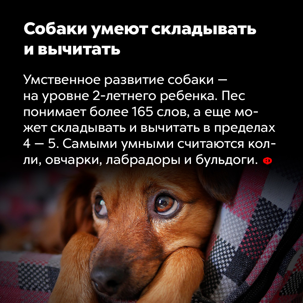 Собаки умеют складывать ивычитать. Умственное развитие собаки —на уровне 2-летнего ребенка. Пёс понимает более 165 слов, а еще может складывать и вычитать в пределах 4 —5. Самыми умными считаются колли, овчарки, лабрадоры и бульдоги.