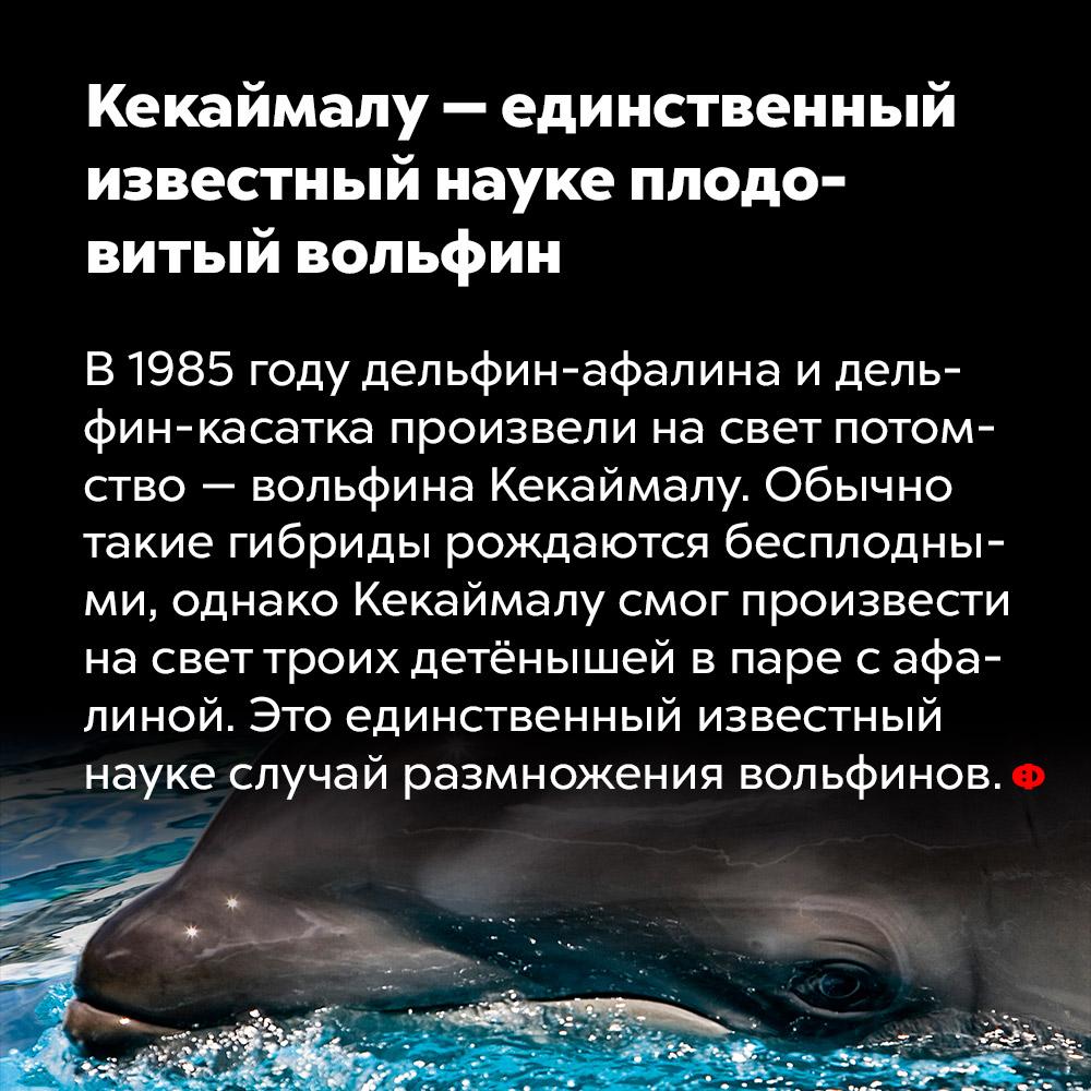 Кекаймалу — единственный известный науке плодовитый вольфин. В 1985 году дельфин-афалина и дельфин-касатка произвели на свет потомство вольфина Кекаймалу. Обычно такие гибриды рождаются бесплодными, однако Кекаймалу смог произвести на свет троих детёнышей в паре с афалиной. Это единственный известный науке случай размножения вольфинов.