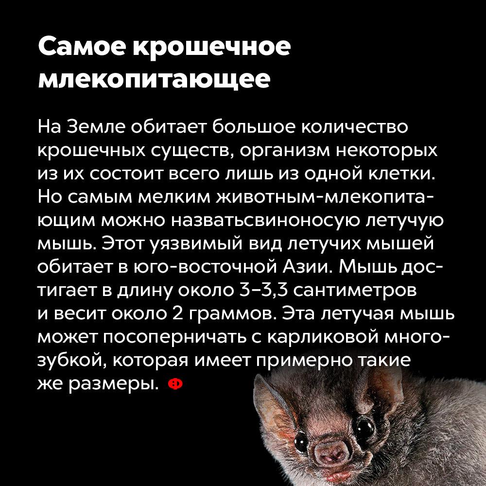 Самое крошечное млекопитающее. На Земле обитает большое количество крошечных существ, организм некоторых из них состоит из всего лишь одной клетки. Но самым мелким животным-млекопитающим можно назвать свиноносую летучую мышь. Этот уязвимый вид летучих мышей обитает в юго-восточной Азии. Мышь достигает в длину около 3-3,3 сантиметров и весит около 2 граммов. Эта летучая мышь может посоперничать с карликовой многозубкой, которая имеет примерно такие же размеры.