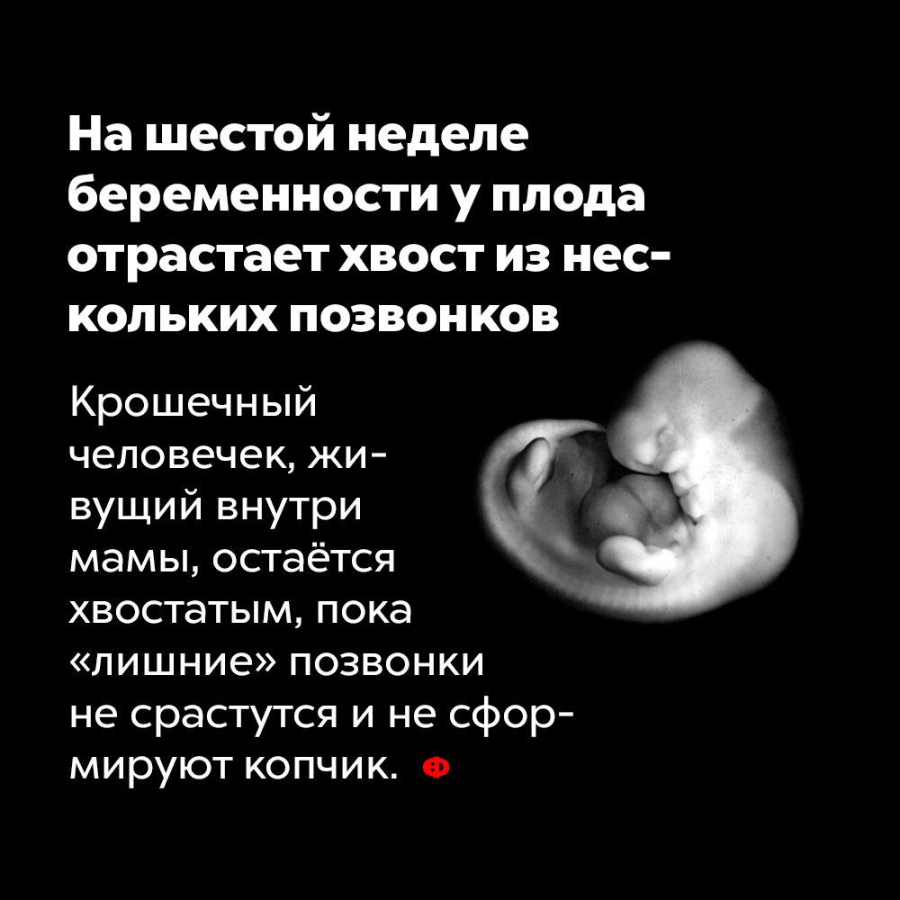 Нашестой неделе беременности уплода отрастает хвост изнескольких позвонков. Крошечный человечек, живущий внутри мамы, остаётся хвостатым, пока «лишние» позвонки не срастутся и не сформируют копчик.