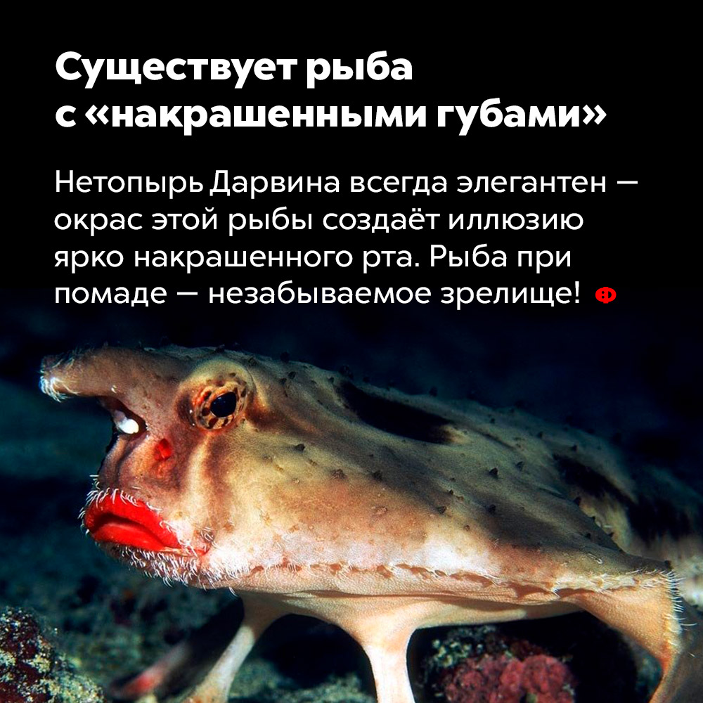 Существует рыба с«накрашенными губами».