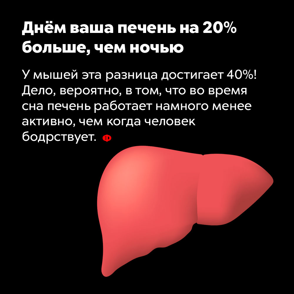 Днём ваша печень на20%больше, чем ночью. У мышей эта разница достигает 40%! Дело, вероятно, в том, что во время сна печень работает намного менее активна, чем когда мы бодрствуем.