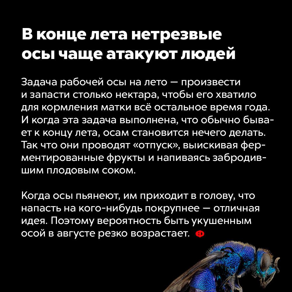 Вконце лета нетрезвые осы чаще атакуют людей. Задача рабочей осы на лето — добыть и запасти столько нектара, чтобы его хватило для кормления матки всё остальное время года. И когда эта задача выполнена, что обычно бывает к концу лета, осам становится нечего делать. Так что они проводят «отпуск», выискивая ферментированные фрукты и напиваясь забродившим плодовым соком. Когда осы пьянеют, им приходит в голову, что напасть на кого-нибудь покрупнее — отличная идея. Поэтому вероятность быть укушенным осой в августе резко возрастает.
