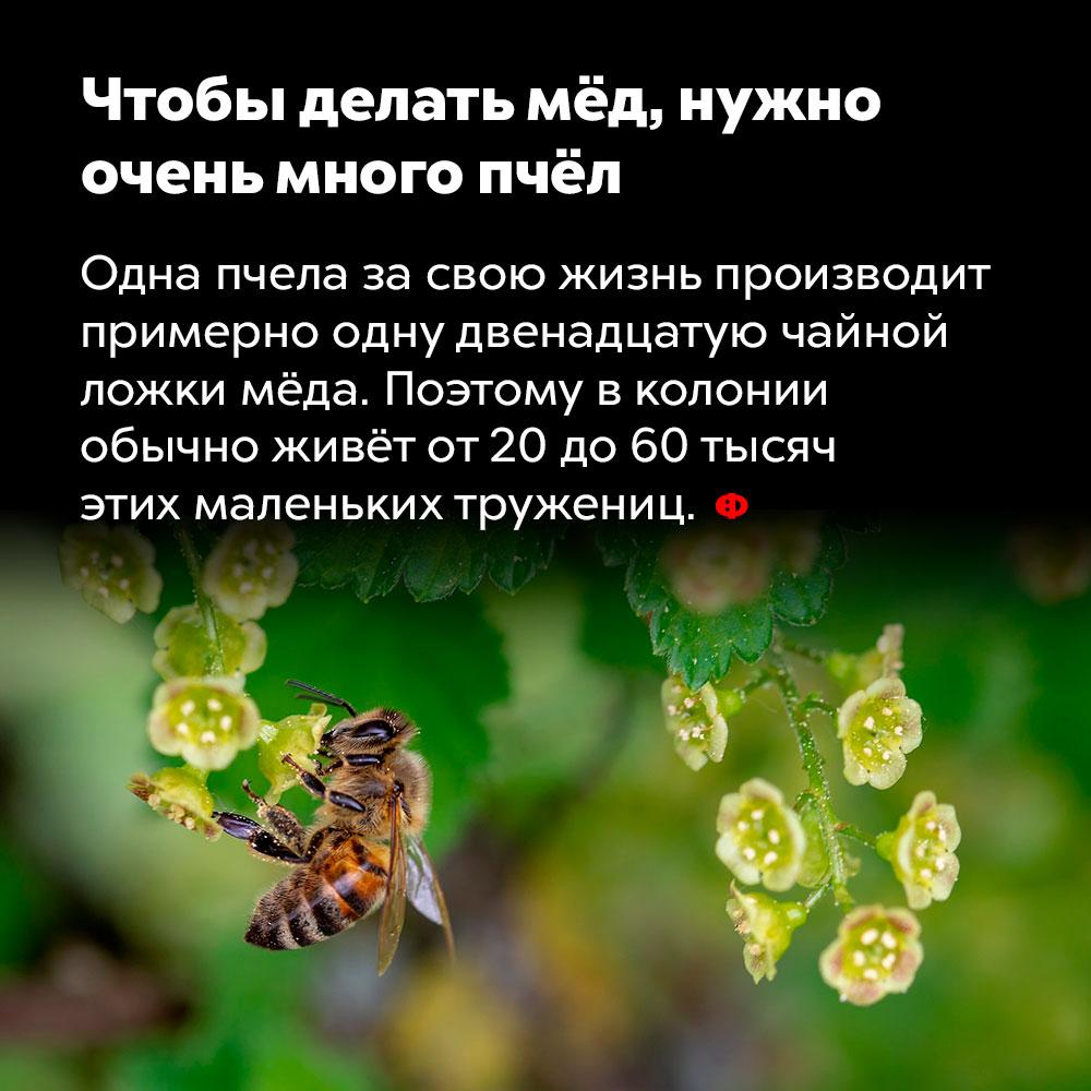 Чтобы делать мёд, нужно очень много пчёл. Одна пчела за свою жизнь производит примерно одну двенадцатую чайной ложки мёда. Поэтому в колонии обычно живёт от 20 до 60 тысяч этих маленьких тружениц.
