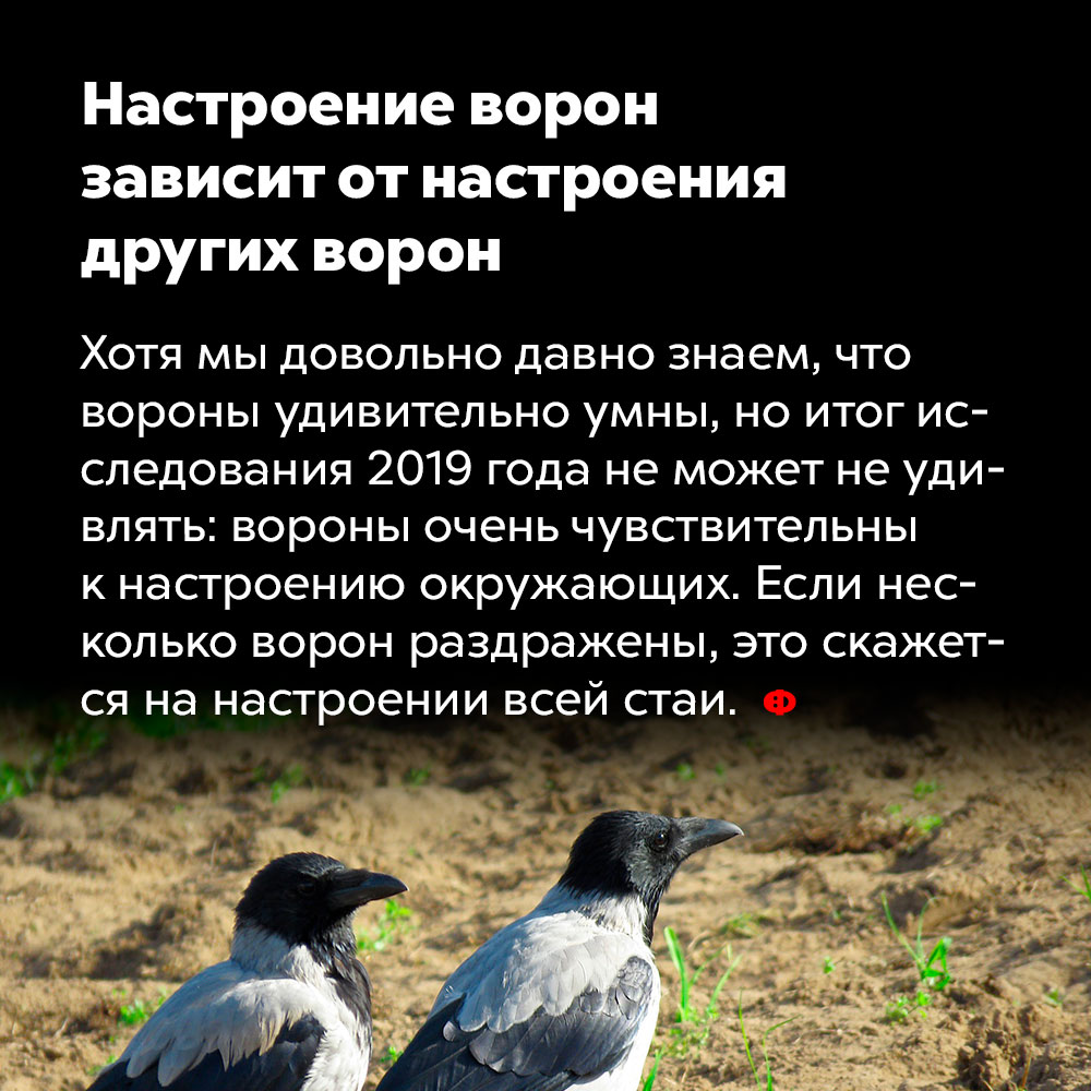 Настроение ворон зависит отнастроения других ворон. Хотя мы давно знаем, что вороны удивительно умны, но итог исследования 2019 года не может не удивлять: вороны очень чувствительны к настроению окружающих. Если несколько ворон раздражены, это скажется на настроении всей стаи.