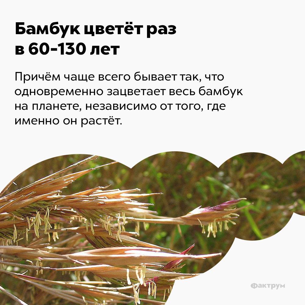 Бамбук цветёт раз в60-130 лет. Причём чаще всего бывает так, что одновременно зацветает весь бамбук на планете, независимо от того, где именно он растёт.
