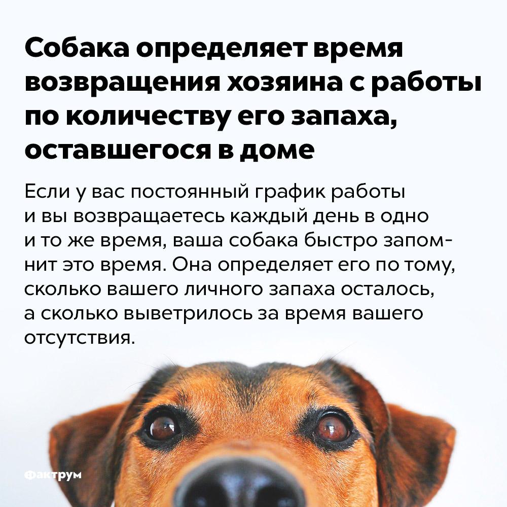 Собака определяет время возвращения хозяина сработы поколичеству его запаха, оставшегося вдоме. Если у вас постоянный график работы и вы возвращаетесь каждый день в одно и то же время, ваша собака быстро запомнит это время. Она определяет его по тому, сколько вашего личного запаха осталось а сколько выветрилось за время вашего отсутствия.