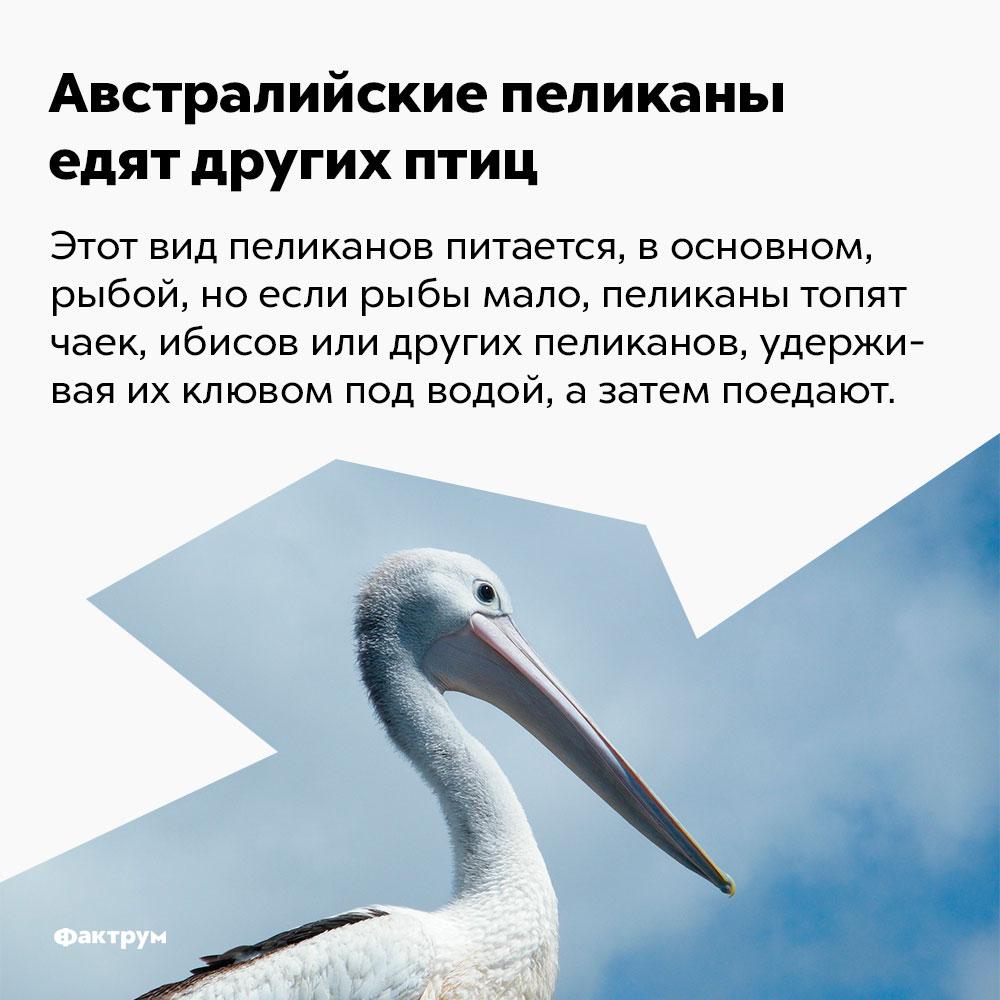 Австралийские пеликаны едят других птиц.