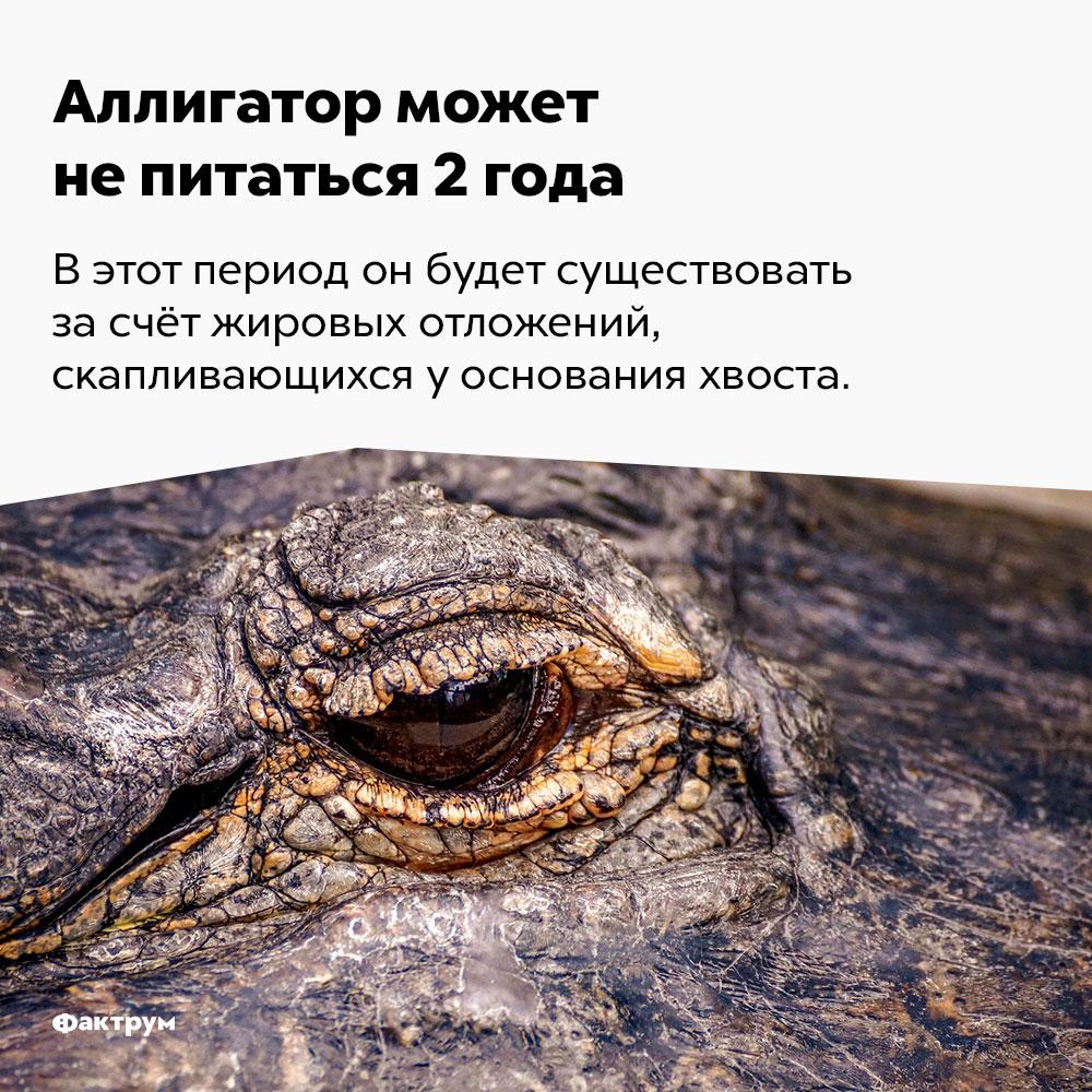 Аллигатор может непитаться 2года. В этот период он будет существовать за счёт жировых отложений, скапливающихся у основания хвоста.
