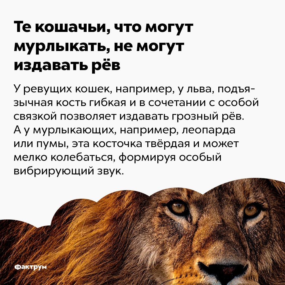 Текошачьи, что могут мурлыкать, немогут издавать рёв. У ревущих кошек, например, у льва, подъязычная кость гибкая и в сочетании с особой связкой позволяет издавать грозный рёв. А у мурлыкающих, например, леопарда или пумы, эта косточка твёрдая и может мелко колебаться, формируя особый вибрирующих звук.