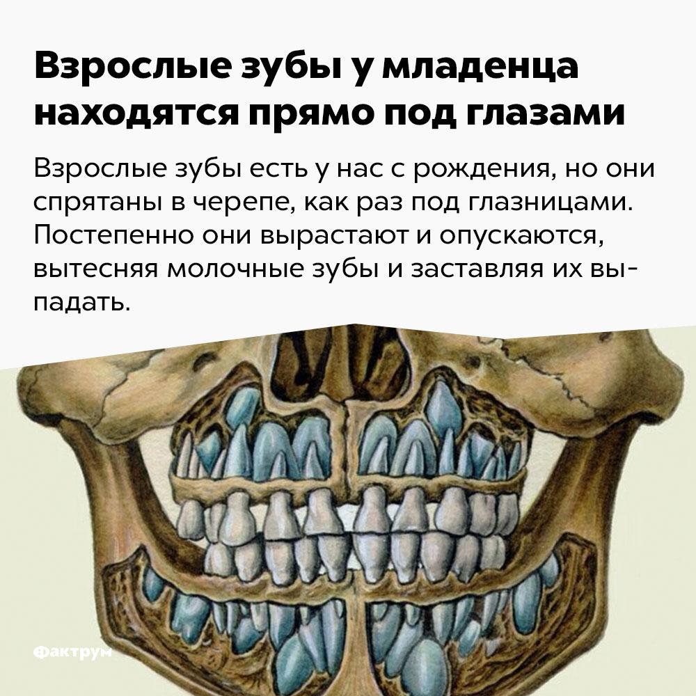 Взрослые зубы умладенца находятся прямо под глазами. Взрослые зубы есть у нас с рождения, но они спрятаны в черепе, как раз под глазницами. Постепенно они вырастают и опускаются, вытесняя молочные зубы и заставляя их выпадать.