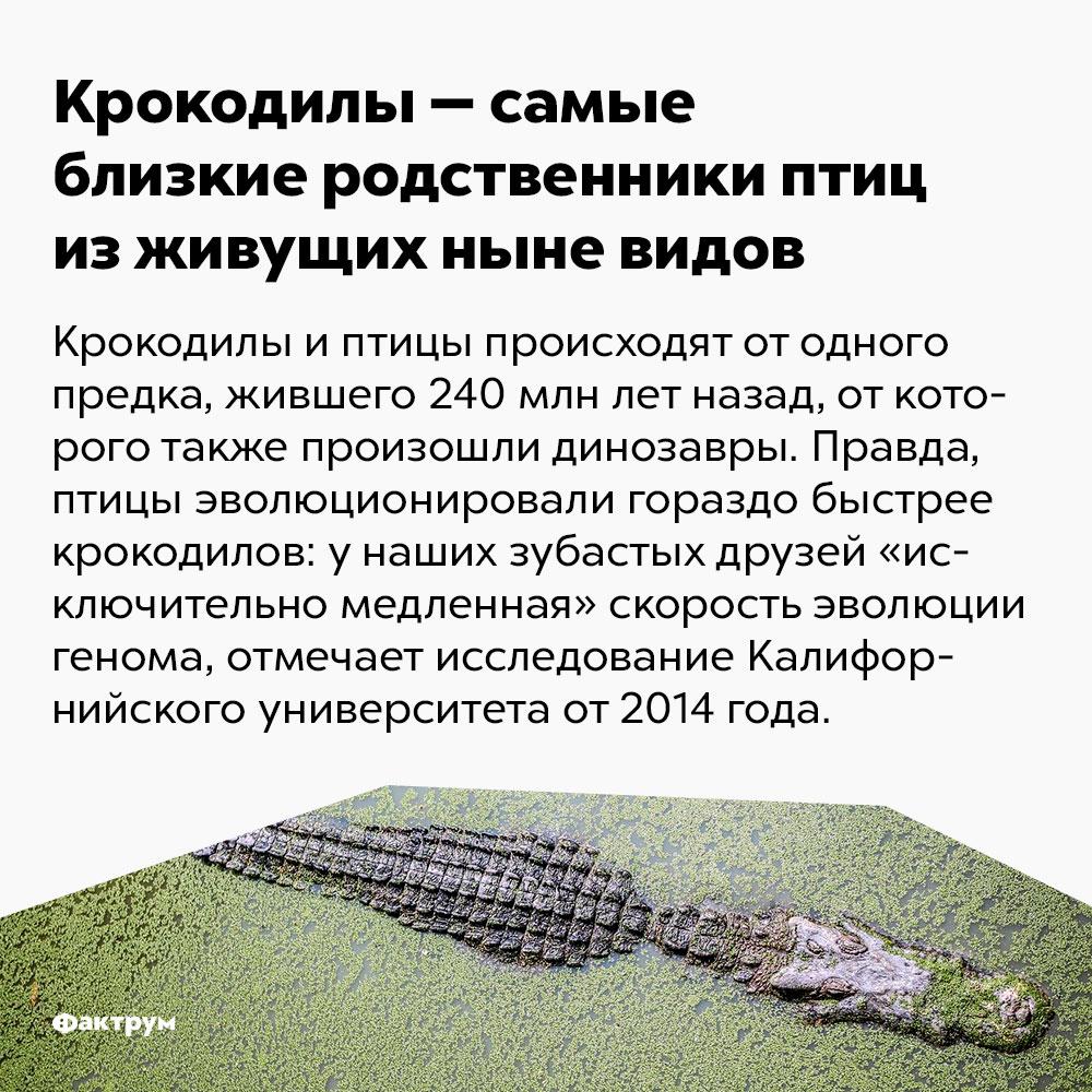 Крокодилы — самые близкие родственники птиц изживущих ныне видов. Крокодилы и птицы происходят от одного предка, жившего 240 млн лет назад, от которого также произошли динозавры. Правда, птицы эволюционировали гораздо быстрей крокодилов: у наших зубастых друзей «исключительно медленная» скорость эволюции генома, отмечает исследование Калифорнийского университета от 2014 года.