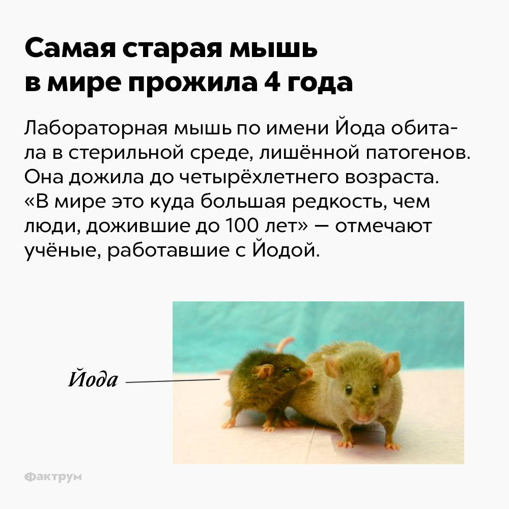 Самая старая мышь вмире прожила 4года. Лабораторная мышь по имени Йода обитала в стерильной среде, лишённой патогенов. Она дожила до четырёхлетнего возраста. «В мире это куда большая редкость, чем люди, дожившие до ста лет» — отмечают учёные, работавшие с Йодой.
