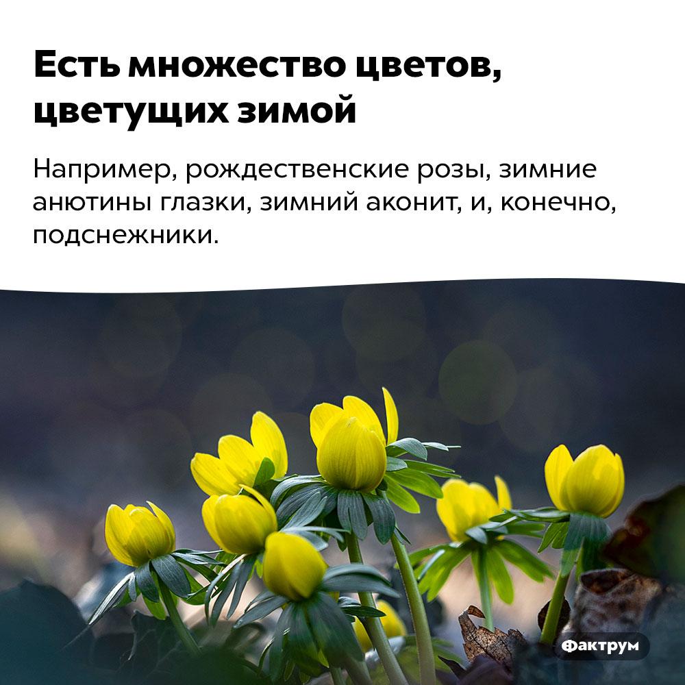 Есть множество цветов, цветущих зимой. Например, рождественские розы, зимние анютины глазки, зимний аконит и, конечно, подснежники.