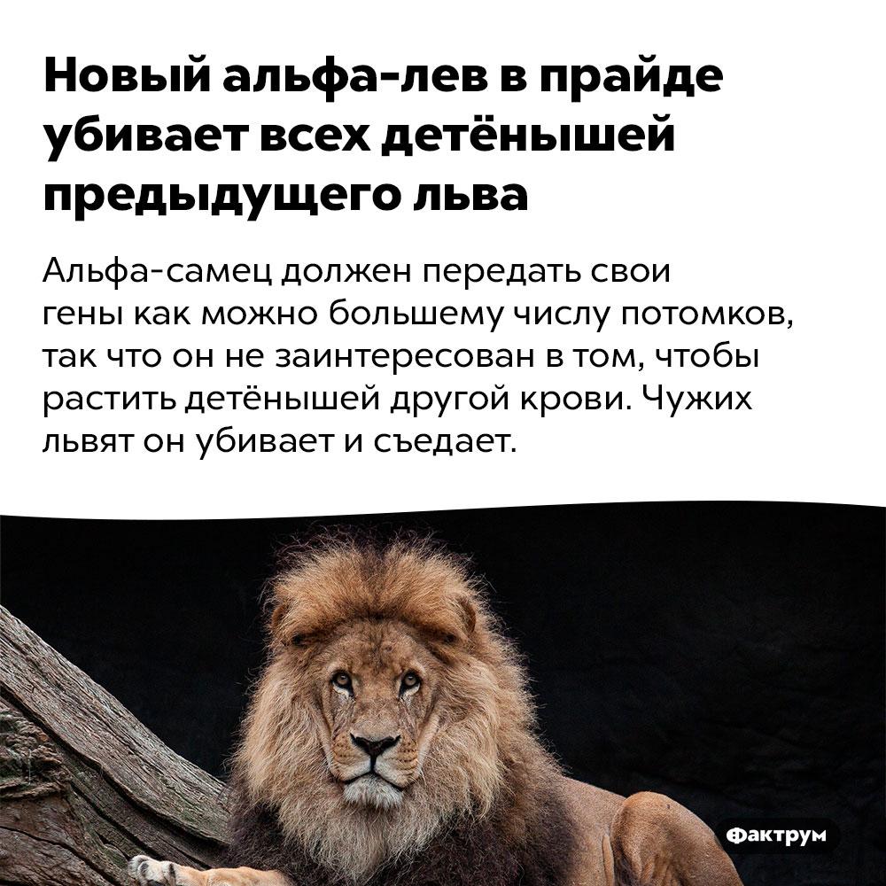 Новый альфа-лев впрайде убивает всех детёнышей предыдущего льва. Альфа-самец должен передать свои гены как можно большему числу потомков, так что он не заинтересован в том, чтобы растить детёнышей другой крови. Чужих львят он убивает и съедает.