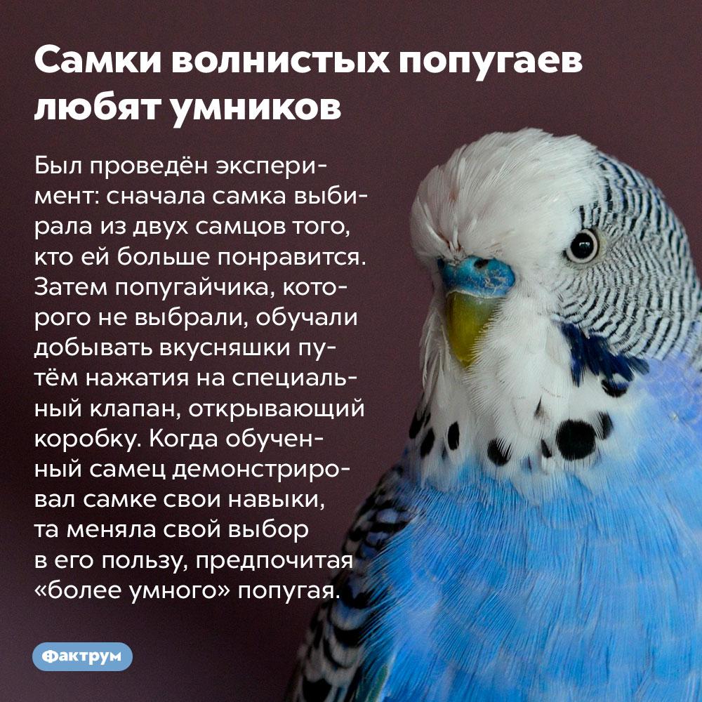 Самки волнистых попугаев любят умников. Был проведён эксперимент: сначала самка выбирала из двух самцов того, кто ей больше понравится. Затем попугайчика, которого не выбрали, обучали добывать вкусняшки путём нажатия на специальный клапан, открывающий коробку. Когда обученный самец демонстрировал самке свои навыки, та меняла свой выбор в его пользу, предпочитая «более умного» попугая.