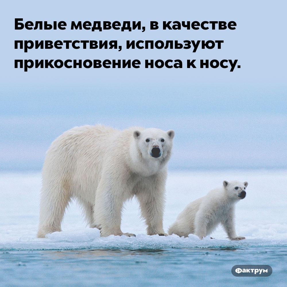 Белые медведи, чтобы попросить друг друга очем-то, используют вкачестве приветствия прикосновение носа к носу. Белые медведи, чтобы попросить друг друга очем-то, используют вкачестве приветствия прикосновение носа к носу