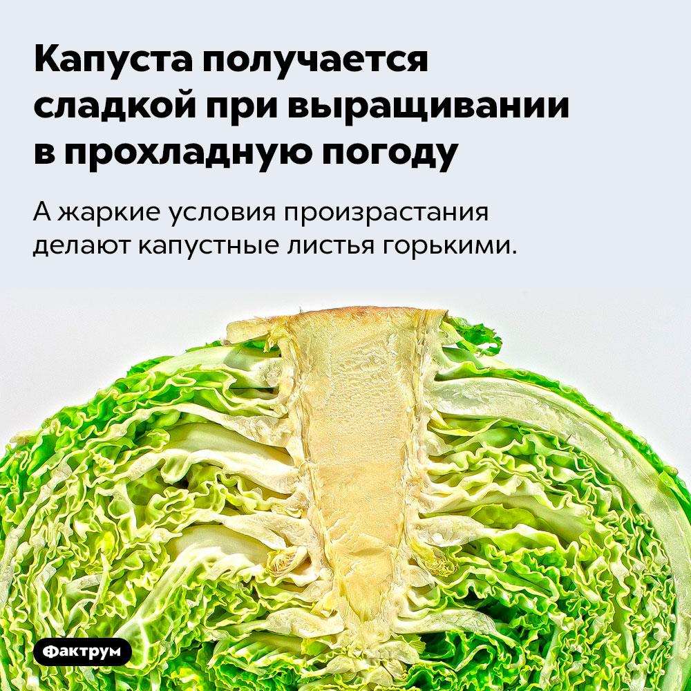 Капуста получается сладкой при выращивании впрохладную погоду. А жаркие условия произрастания делают капустные листья горькими.