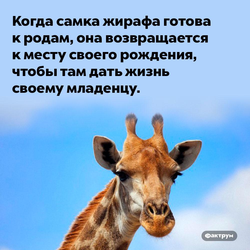 Жирафы стараются рождать детёнышей там, где родились сами. Когда самка жирафа готова к родам, она возвращается к месту своего рождения, чтобы там дать жизнь своему младенцу