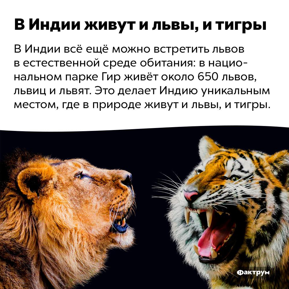ВИндии живут ильвы, итигры. В Индии всё ещё можно встретить львов в естественной среде обитания: в национальном парке Гир живёт около 650 львов, львиц и львят. Это делает Индию уникальным местом, где в природе живут и львы, и тигры.