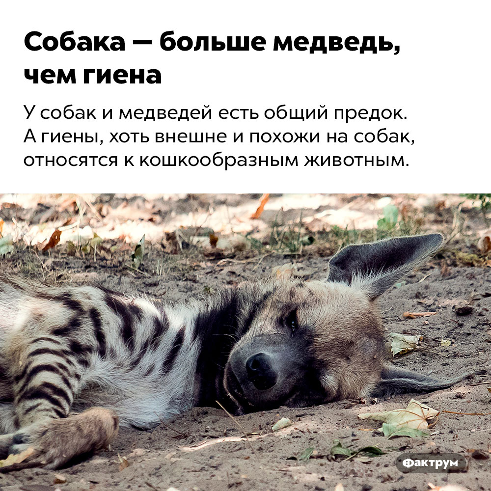 Собака — больше медведь, чем гиена. У собак и медведей есть общий предок. А гиены, хоть внешне и похожи на собак, относятся к кошкообразным животным.