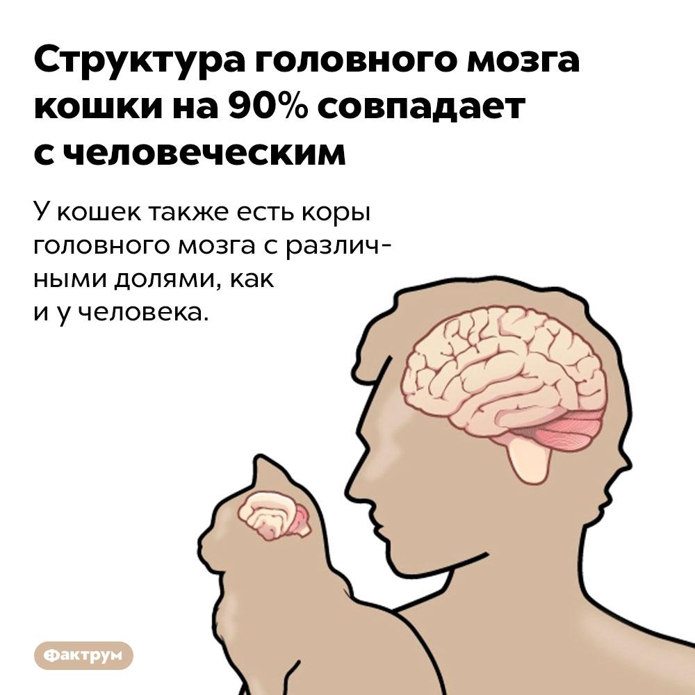 Структура головного мозга кошки на90%совпадает счеловеческим. У кошек также есть коры головного мозга с различными долями, как и у человека.