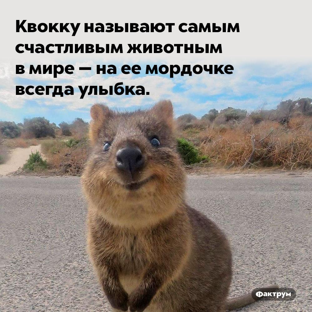 Самое счастливое животное. Квокку называют самым счастливым животным в мире — на её мордочке всегда улыбка.