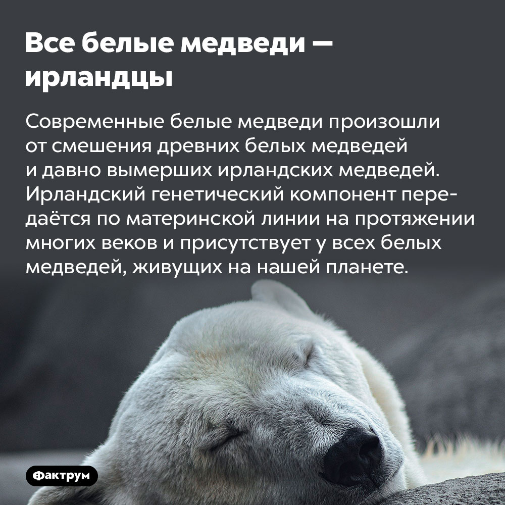 Все белые медведи — ирландцы. Современные белые медведи произошли от смешения древних белых медведей и давно вымерших ирландских медведей. Ирландский генетический компонент передаётся по материнской линии на протяжении многих веков и присутствует у всех белых медведей, живущих на нашей планете.