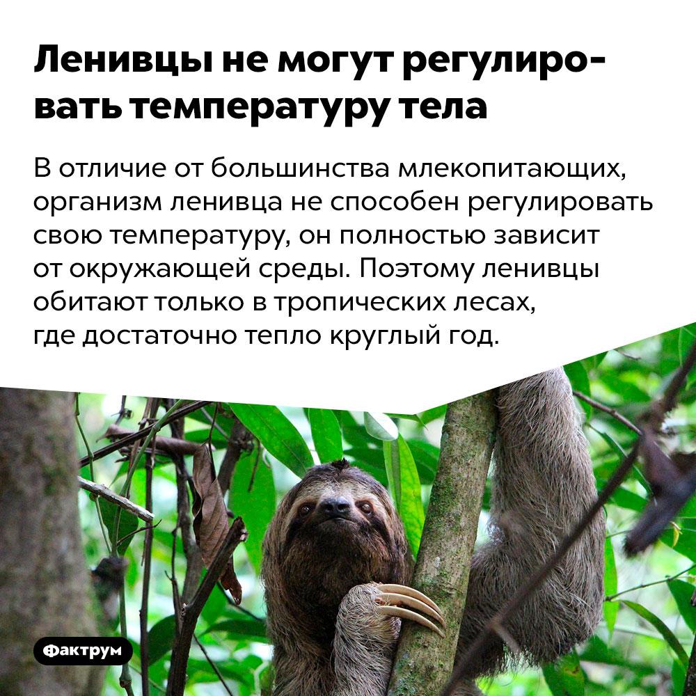 Ленивцы немогут регулировать температуру тела. В отличие от большинства млекопитающих, организм ленивца не способен регулировать свою температуру, он полностью зависит от окружающей среды. Поэтому ленивцы обитают только в тропических лесах, где достаточно тепло круглый год.