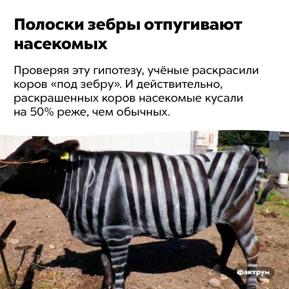 Полоски зебры отпугивают насекомых. Проверяя эту гипотезу, учёные раскрасили коров «под зебру». И действительно, раскрашенных коров насекомые кусали на 50% реже, чем обычных.
