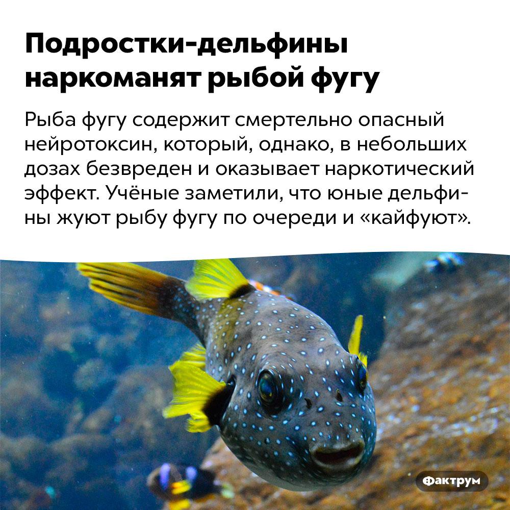 Подростки-дельфины наркоманят рыбой фугу. Рыба фугу содержит смертельно опасный нейротоксин, который, однако, в небольших дозах безвреден и оказывает наркотический эффект. Учёные заметили, что юные дельфины жуют рыбу фугу по очереди и «кайфуют».