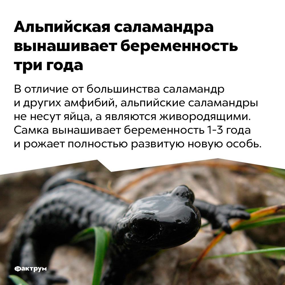 Альпийская саламандра вынашивает беременность три года.
