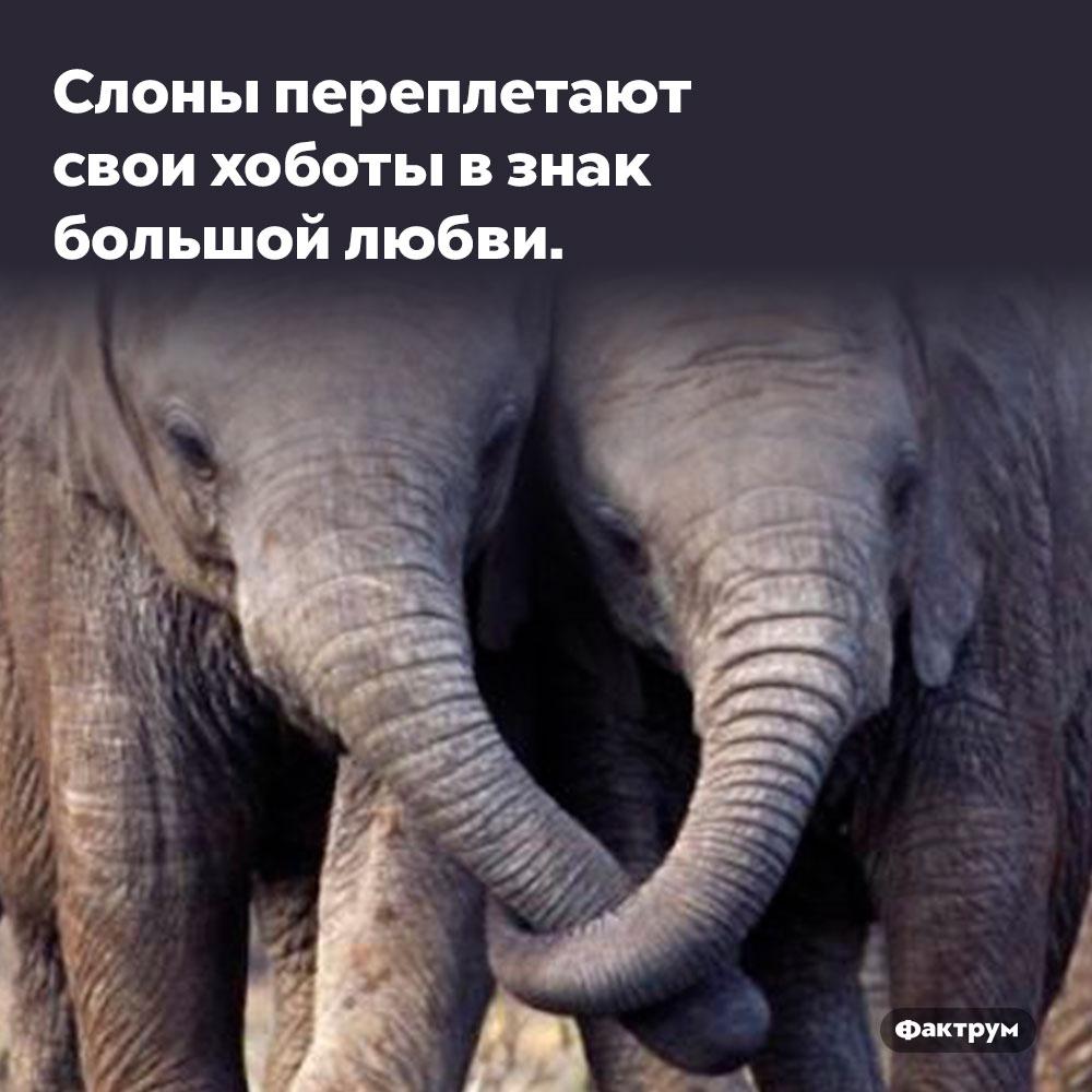 Слоны переплетают свои хоботы взнак большой любви.