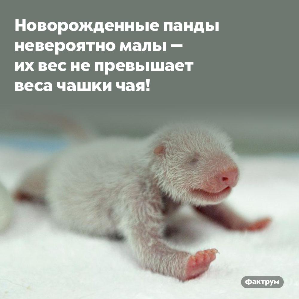 Новорождённые панды невероятно малы. их вес не превышает веса чашки чая!