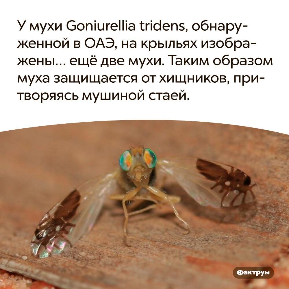 Умухи Goniurellia tridens, обнаруженной вОАЭ, накрыльях изображены… ещё две мухи. Таким образом муха защищается от хищников, притворяясь «мушиной стаей».