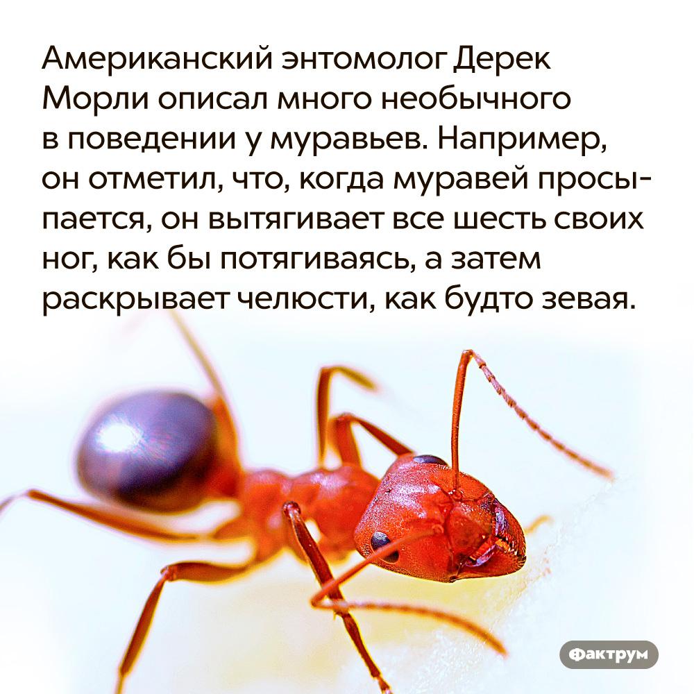 Американский энтомолог Дерек Морли описал много необычного вповедении умуравьев. Например, он отметил, что, когда муравей просыпается, он вытягивает все шесть своих ног, как бы потягиваясь, а затем раскрывает челюсти, как будто зевая.