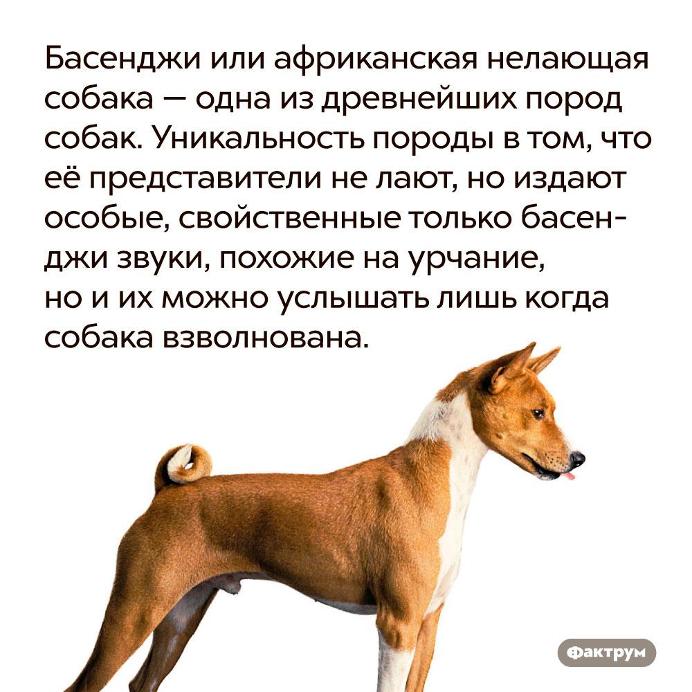 Басенджи или африканская нелающая собака — одна издревнейших пород собак. Уникальность породы в том, что её представители не лают, но издают особые, свойственные только басенджи звуки, похожие на урчание, но и их можно услышать лишь когда собака взволнована.