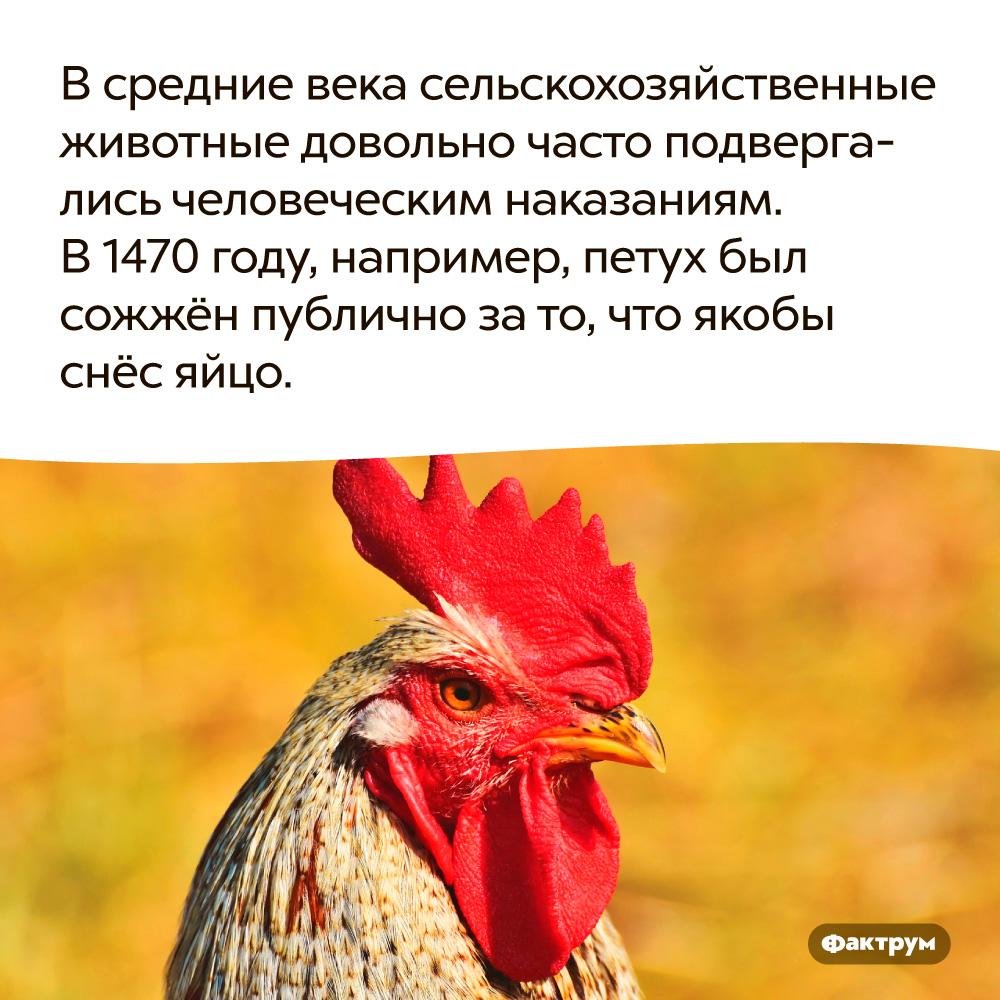 Всредние века сельскохозяйственные животные довольно часто подвергались человеческим наказаниям. В Средние века сельскохозяйственные животные довольно часто подвергались человеческим наказаниям. В 1470 году, например, петух был сожжён публично за то, что, якобы, снёс яйцо.